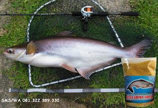 Umpan Khusus Ikan Patin