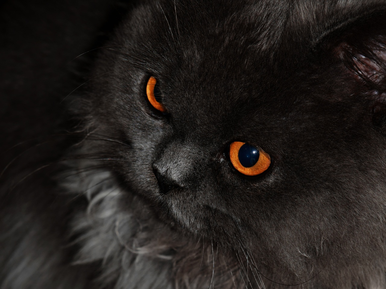Black Cat Eyes Wallpaper: Cats Beauty HD Wallpaper