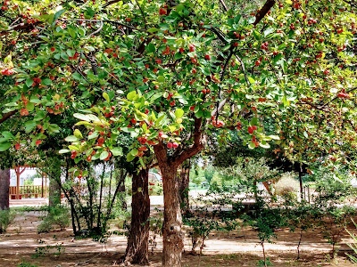 crab apples on trees in the late summer