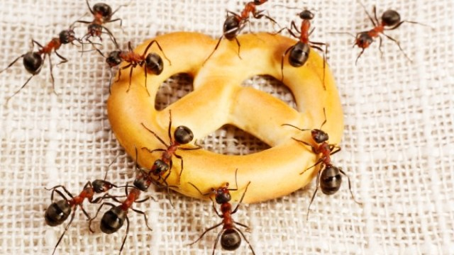Mengusir semut di meja makan