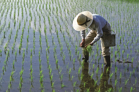 """Philippines becomes first country to approve nutrient-enriched """"Golden Rice"""" for planting"""