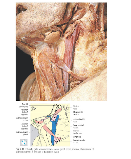 Internal jugular vein and some cervical lymph nodes, revealed after removal of sternocleidomastoid and part of the parotid gland.