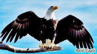 Types Of Eagles - Bald Eagle