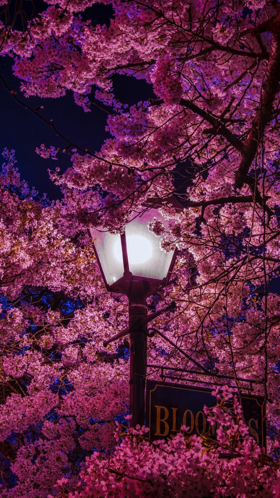 Hoa anh đào giữa ánh đèn đêm