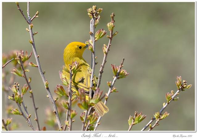 Sandy Neck: ... birds...