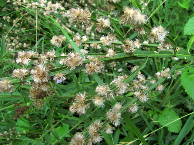 Baccharis trimera Carqueja en flor en el Jardín de Plantas Nativas Solnaturi