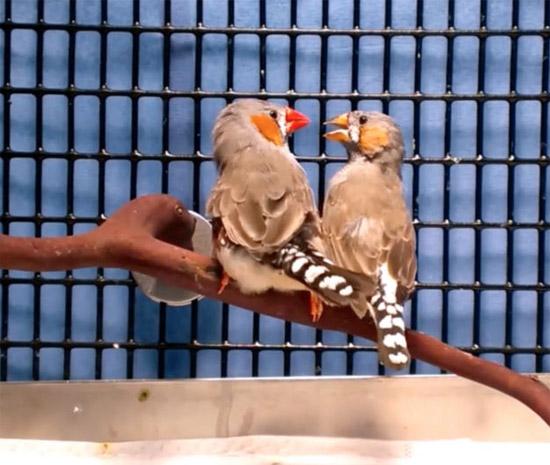 Memórias falsas são implantadas em pássaros - Por quê