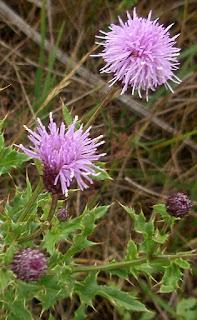Cardo cundidor (Cirsium arvense)