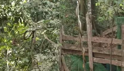 Ular king cobra bergelantungan di pohon