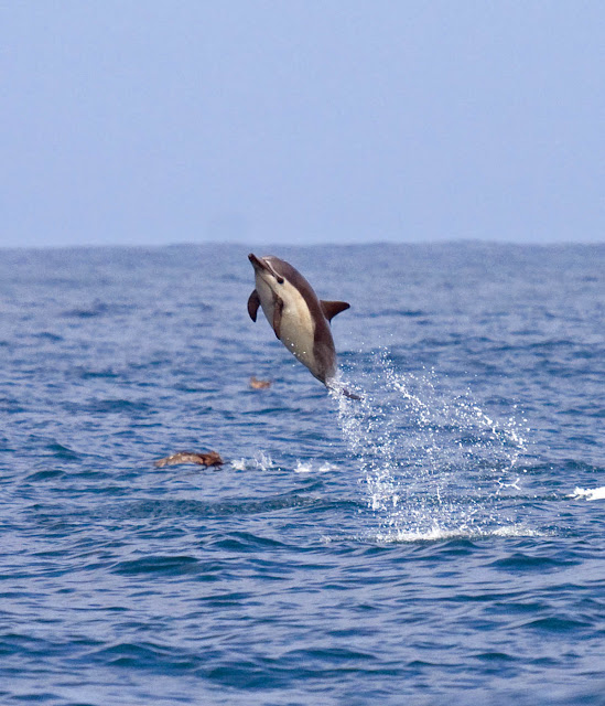 Common Dolphin rockets to space
