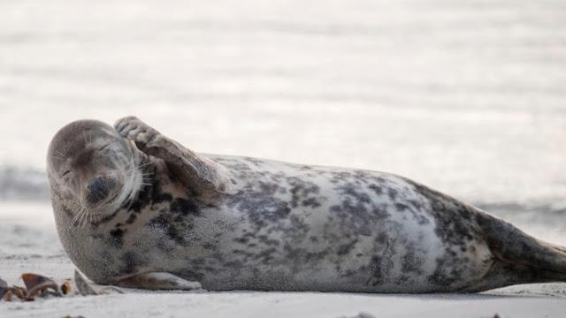 Серые тюлени могут петь тему «Звездных войн»