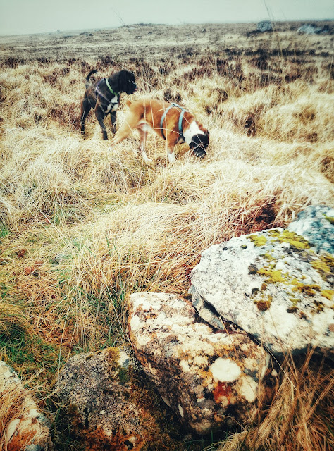 boxer dogs in the bogs