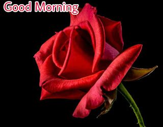 Beautiful good morning images , pics and photos of red rose flowers