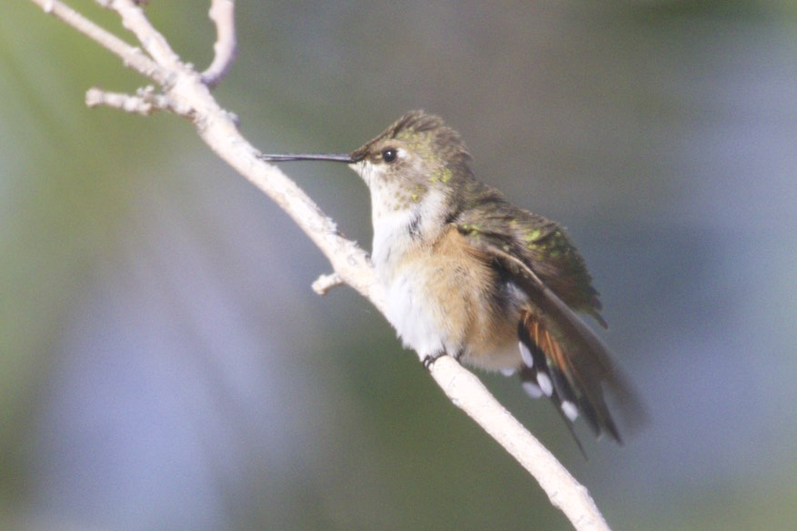 How To Tell The Difference Between Male And Female Hummingbirds