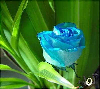 صور ازهار زرقاء