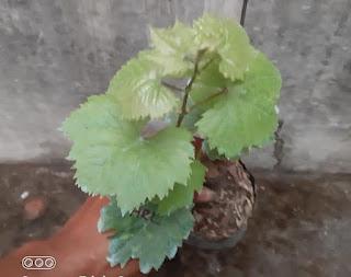 contoh gambar bentuk daun anggur harold