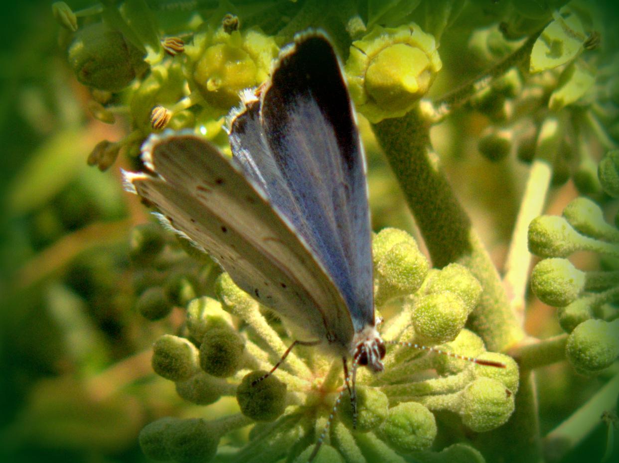 Peter Lovetts Ramblings Holly Blue Butterfly Feeding On Ivy Flowers