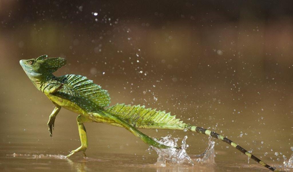 Thằn lằn Jesus có khả năng chạy trên mặt nước.