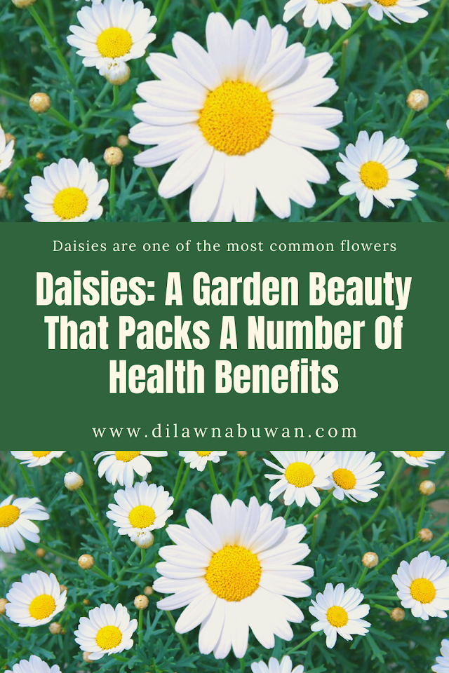 Daisies: A Garden Beauty That Packs A Number Of Health Benefits