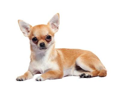 Cuidado perro chihuahua