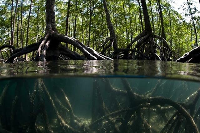 Hutan Bakau Mencegah Abrasi