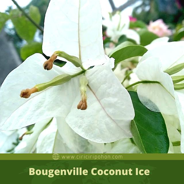 Ciri Ciri Pohon Bougenville Coconut Ice