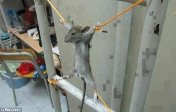 Menyiksa Tikus