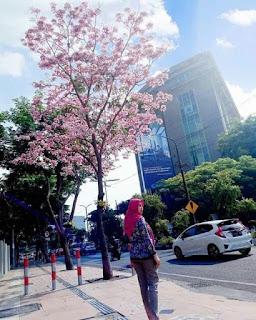 bibit-bunga-tabebuya-murah.jpg