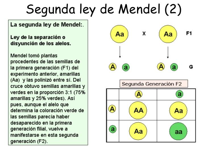 1 2 3 Biologia Teoria Cromosomica De La Herencia