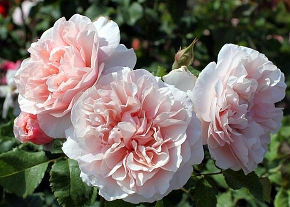 Eifelzauber сорт розы Кордес фото описание Минск