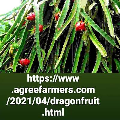 Dragonfruit plant