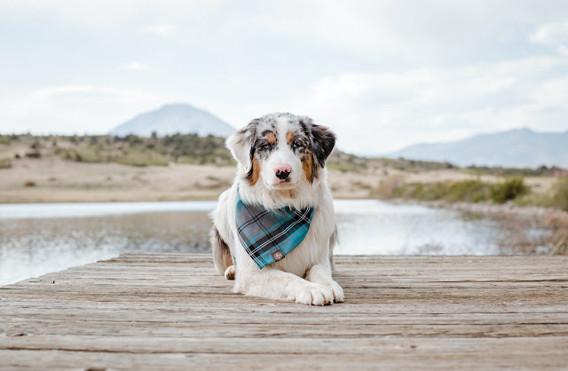 Are Australian Shepherds Good With Kids?
