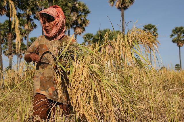 Récolte de riz à  Kompong Chhang. Photographie ILO (CC)