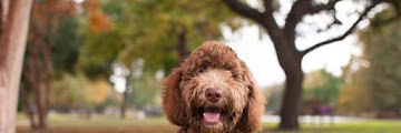 Best Hypoallergenic Dog Breeds (Best Dogs that don't Shed)