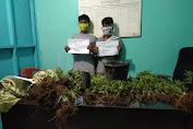 Polres Merangin Temukan 180 Pohon Ganja Dan Amankan Dua Orang Tersangka