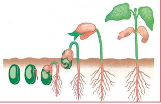 pertumbuhan biji keambah