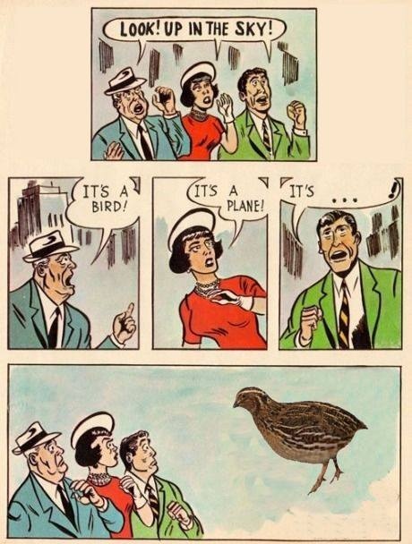 Burung Puyuh Viral : burung, puyuh, viral, Lawak, Burung, Puyuh!, Viral, Sampai, Negara, Seberang, Selongkar10