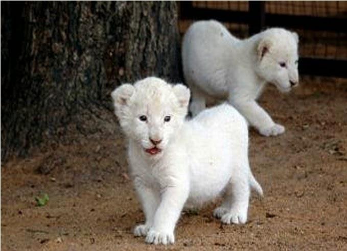 White Lion Cubs Bersama