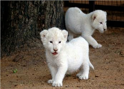 White Lion Cubs Together