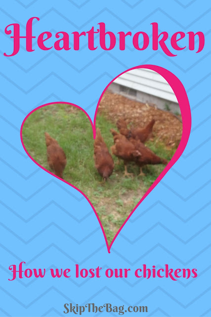 How we lost our chickens.
