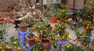 Kamquat tress for Lunar New Year Decorations