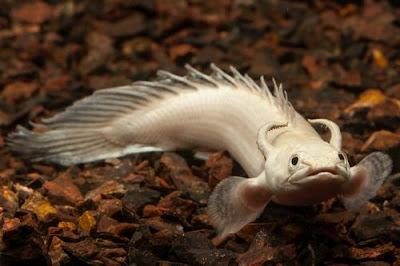 Polypterus atau Ikan Palmas