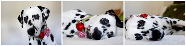Dalmatian dog wearing a homemade rolled ribbon rosette dog collar