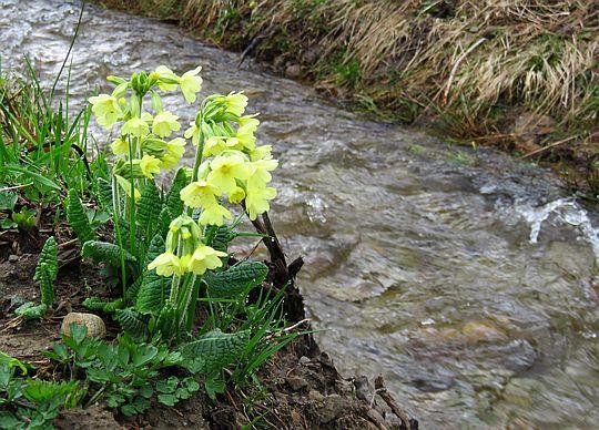 Pierwiosnek wyniosły (Primula elatior ).