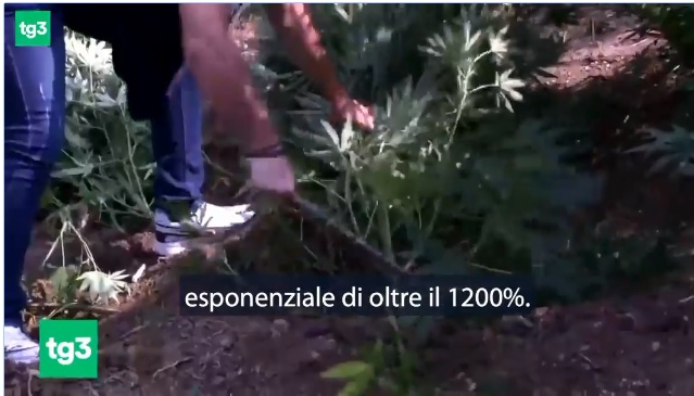 RAI3: Cannabis cultivation increased by 12 times in Albania; Albanin authorities deny this