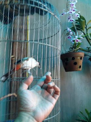 Có con chim là chim chào mào