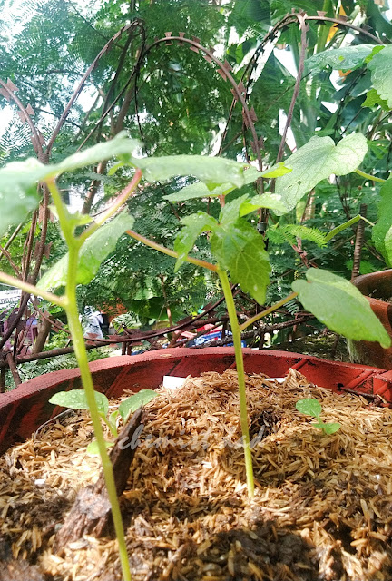 tips on urban gardening,urban gardening,urban planting,okra, how to grow okra in pots, how to grow okra,home and living,home garden, vegetable garden,gardening,