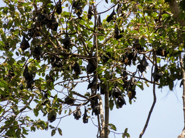 Bats at the Royal Gardens in Siem Reap Cambodia