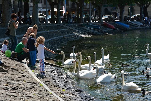 Lecco swan feeding