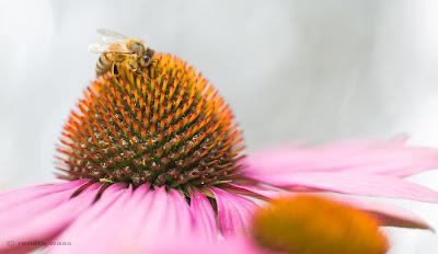 Pflegeleichtes Staudenbeet mit Präriepflanzen - z.B.  Echinacea purpurea